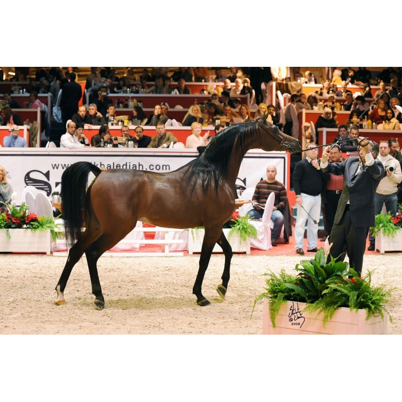 Аль Шакаб: экскурсия к чистокровным арабским лошадям